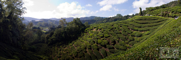 Cameron Highlands Best Tourist Attractions And Places To Visit In Malaysia 2014